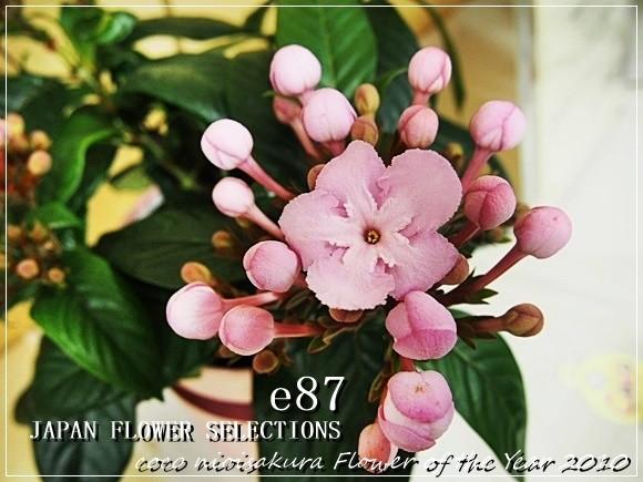 e87 鉢植え「におい桜 ココ~ワンランク上の上質ギフト~」 口コミ