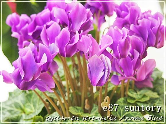 鉢植え シクラメン セレナーディア アロマブルーを珍しい青い花のプレゼントギフトとして