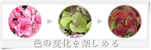 母の日 アジサイ 鉢植え