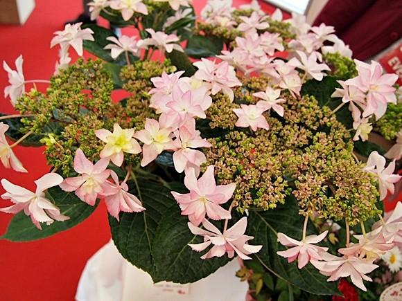 母の日 アジサイ 鉢植え フェアリーアイ ダンスパーティー (15)