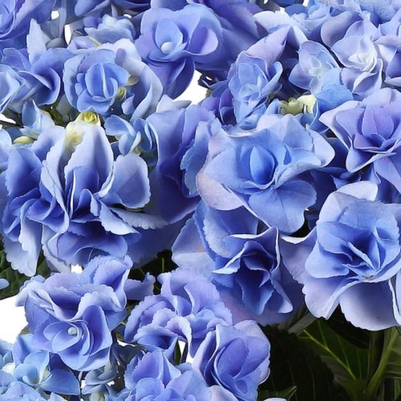母の日 アジサイ 鉢植え フェアリーアイ ダンスパーティー (2)