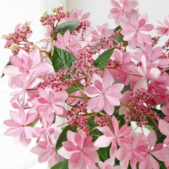 母の日 アジサイ 鉢植え フェアリーアイ ダンスパーティー (3)