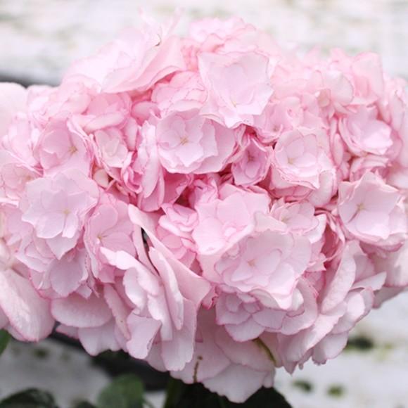 母の日 アジサイ 鉢植え フェアリーアイ ダンスパーティー (4)
