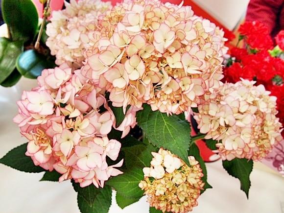 母の日 アジサイ 鉢植え フェアリーアイ ダンスパーティー (7)